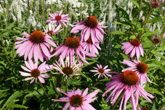 开花的开花的紫罗兰开花与绿色叶子的背景 库存照片