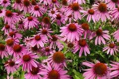 开花的开花的紫罗兰开花与绿色叶子的背景 库存图片
