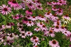 开花的开花的紫罗兰开花与绿色叶子的背景 免版税库存图片