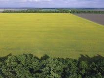 开花的强奸和森林传送带的领域风保护的 强奸,有黄色花的一棵syderatic植物 与siderates的领域 免版税库存照片