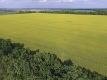 开花的强奸和森林传送带的领域风保护的 强奸,有黄色花的一棵syderatic植物 与siderates的领域 库存照片