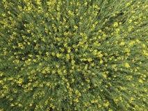 开花的强奸的领域 从寄生虫的顶视图 强奸,有黄色花的一棵syderatic植物 与siderates的领域 库存照片