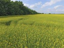 开花的强奸的领域 强奸,有黄色花的一棵syderatic植物 与siderates的领域 库存图片
