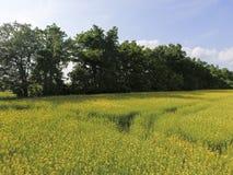 开花的强奸的领域 强奸,有黄色花的一棵syderatic植物 与siderates的领域 免版税库存照片