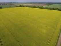 开花的强奸的领域 强奸,有黄色花的一棵syderatic植物 与siderates的领域 免版税库存图片