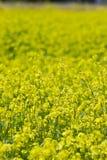 开花的强奸的黄色领域在村庄 免版税库存照片