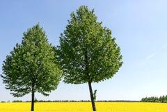 开花的强奸调遣与在前景的两棵落叶树 免版税库存图片