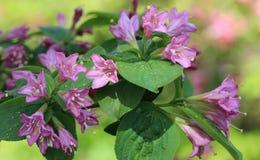 开花的忍冬属植物 库存照片