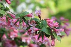 开花的忍冬属植物 图库摄影