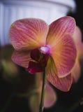 开花的房子植物,室内植物 免版税图库摄影