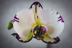 开花的房子植物,室内植物 免版税库存照片