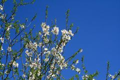 开花的扁桃在一个晴朗的春日 免版税库存图片
