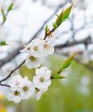 开花的扁桃在春天公园 免版税库存照片