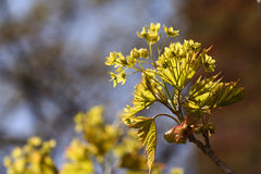 开花的挪威枫树(Acer platanoides)反对蓝天, backlite 库存图片