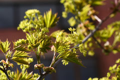 开花的挪威枫树(Acer platanoides)反对蓝天, backlite 库存照片