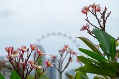 开花的新加坡 库存图片