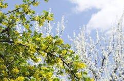 开花的无核小葡萄干和开花的洋李反对明亮的天空 温暖的春天的概念 免版税库存照片