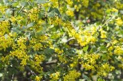 ?? 开花的无核小葡萄干在庭院里 免版税库存图片