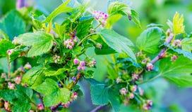 开花的无核小葡萄干 鲜绿色的叶子和花在无核小葡萄干的分支在spring_ 库存图片