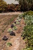 开花的无头甘蓝和装饰圆白菜在小有机f增长 免版税库存图片