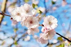 开花的日本佐仓花 樱桃树分支春天 库存图片