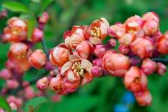 开花的日本柑橘 免版税库存照片