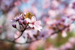 开花的日本樱桃分支 免版税库存照片