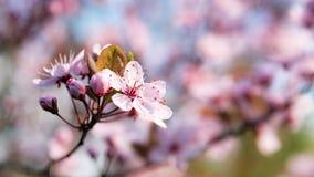开花的日本樱桃分支 免版税图库摄影