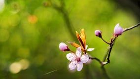 开花的日本樱桃分支 免版税库存图片