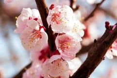开花的日本樱桃树 开花与明亮的白花的白色,桃红色佐仓花在背景中 免版税图库摄影