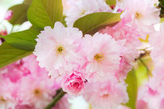 开花的日本樱桃树 库存图片