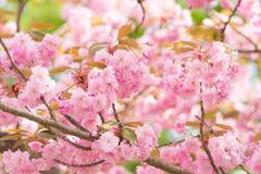开花的日本樱桃树 免版税库存照片