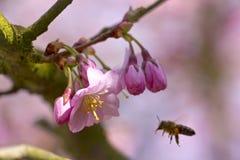开花的日本樱桃树 图库摄影