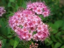 开花的日本japonica绣线菊类的植物spirea 库存照片