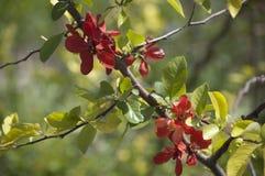 开花的日本quincetree 库存照片