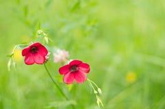 开花的日调遣野草花农村突围夏天 在绿色草甸的红色嫩花 库存图片