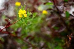 开花的日调遣野草花农村突围夏天 红色叶子围拢的黄色花 免版税库存图片