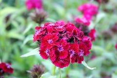 开花的明亮的康乃馨 免版税库存照片