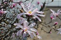 开花的星木兰(木兰Stellata) 免版税库存照片