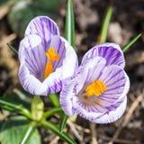 开花的春天番红花 图库摄影