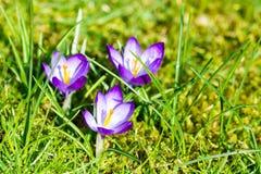开花的春天番红花 免版税库存图片