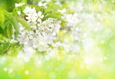 开花的春天结构树 库存图片