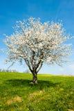 开花的春天结构树 免版税库存图片