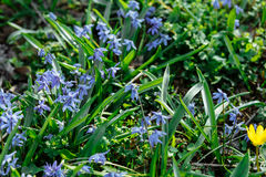开花的春天背景开花Scilla 免版税图库摄影