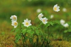 开花的春天雪花 图库摄影