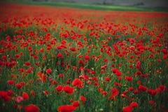 鸦片领域在春天 开花的春天鸦片全景在麦田中的在背景中 免版税库存图片