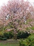 开花的春天 免版税图库摄影