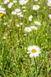 开花的春白菊开花在从关闭的草之间 免版税图库摄影