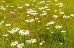 开花的春白菊开花在从关闭的草之间 免版税库存图片