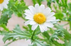 开花的春黄菊在庭院里,水平 库存图片